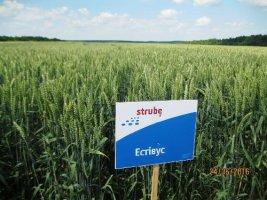 Насіння озимих - Озима пшениця STRUBE, LEMBKE, Saaten Union, RWA.